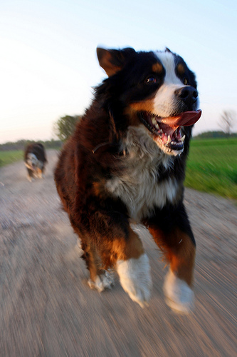 Running dog photo by followtheseinstructions
